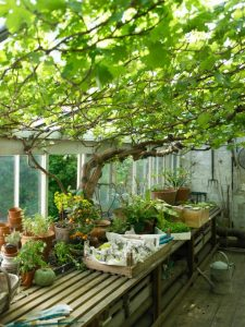 ts-200391680-001_vines-growing-in-greenhouse_s3x4